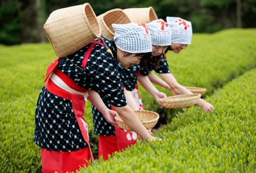 茶摘み衣装で茶摘体験