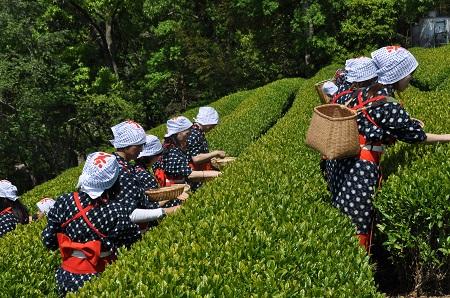 体験茶摘み中継